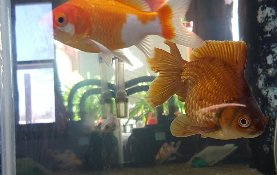 Why are goldfish not good beginner fish my aquarium club for Good beginner fish