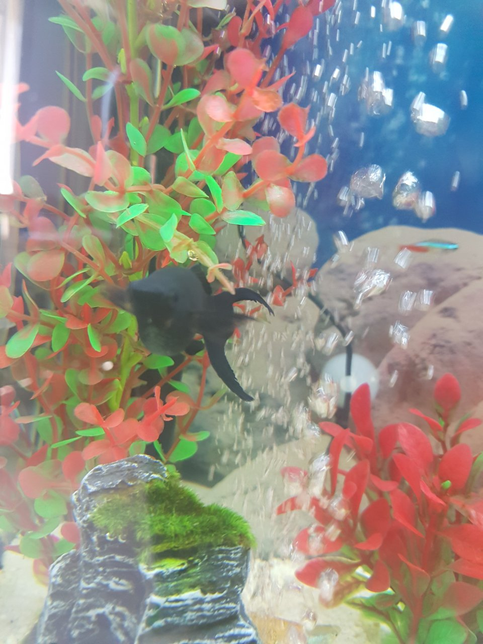 Freshwater fish store near me - I Went To A Fish Store Near Me And The Seller Was Convinced That It Is A Male Fish