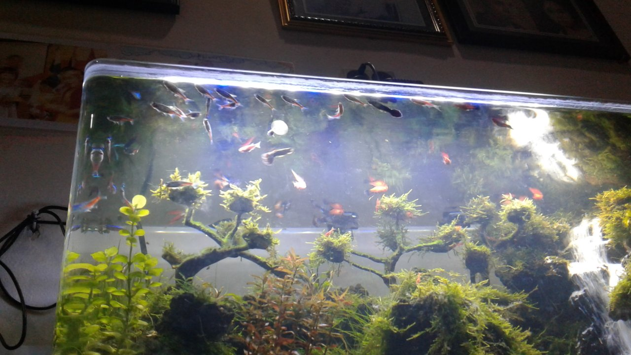 Fish in tank swimming at top - Note We Dont Have An Airstone It Is A Planted Co2 Tank And The Folk At The Pet Store Said We Have To Change The Water One Time Every 2 Months