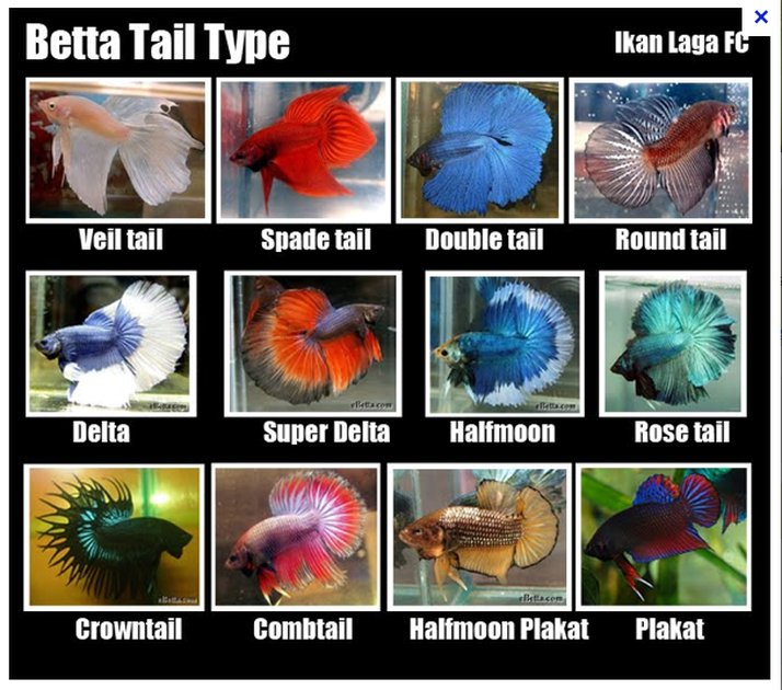 The genetics of betta fish tail types my aquarium club for Good betta fish names