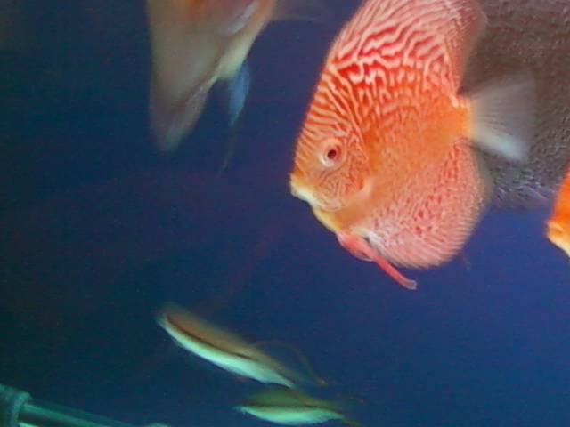 Discus fish setup aquarium sta nd internal filter for Discus fish for sale near me