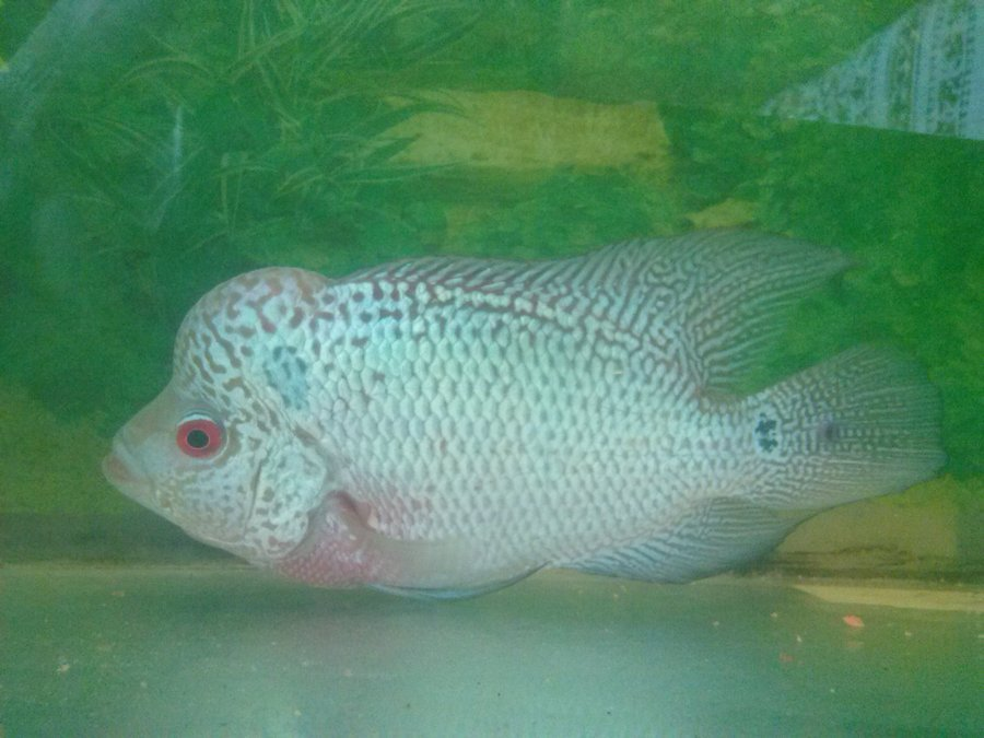 Which Food Is Best For Flowerhorn To Make His Head Bigger ...