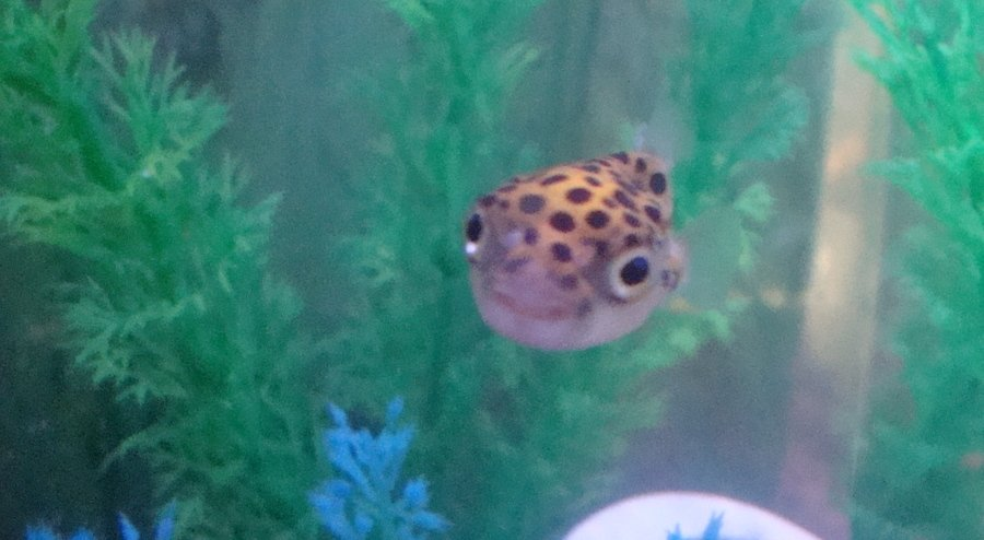 i stopped walmart puffer fish sales my aquarium club