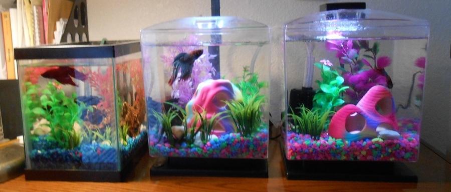 Just saved betta fish from walmart my aquarium club for Walmart betta fish