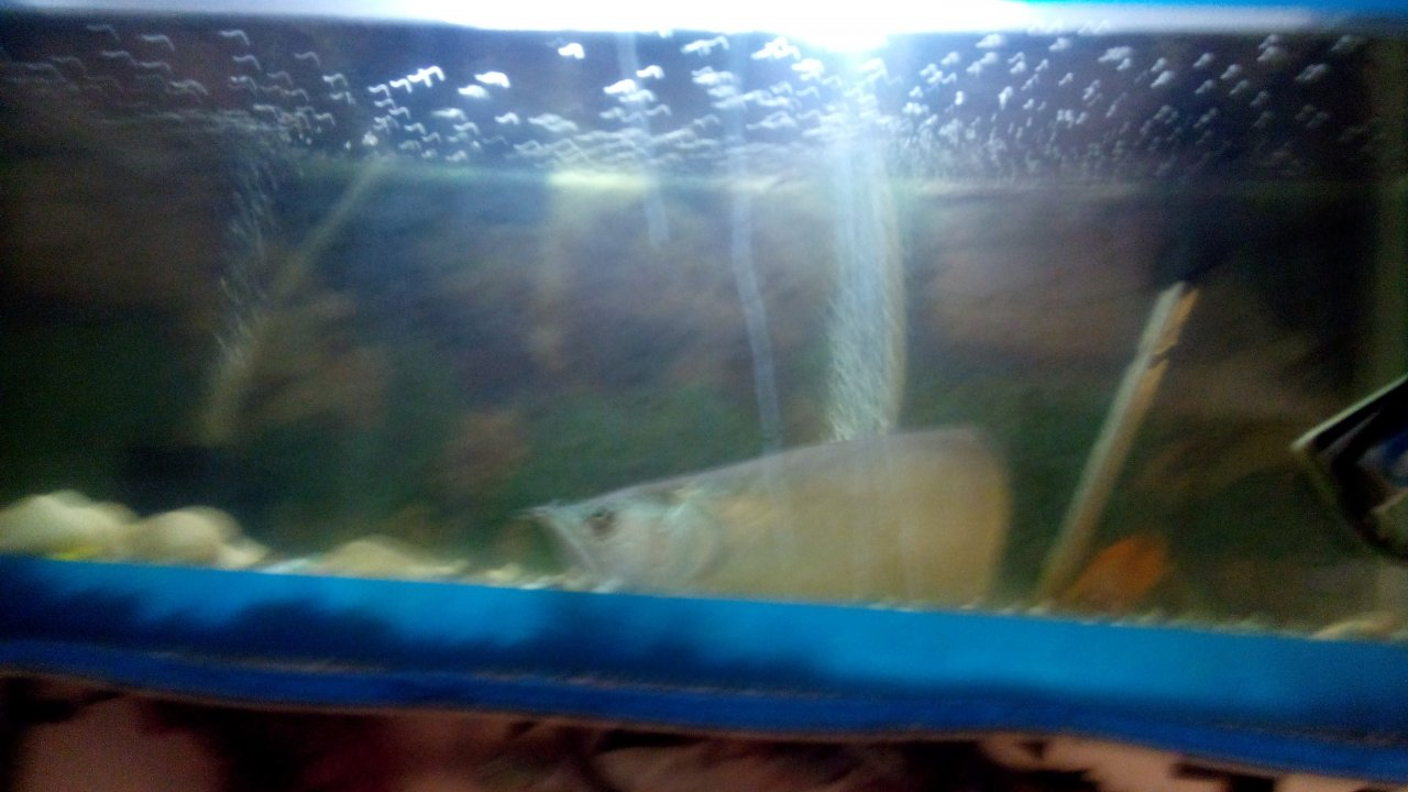 Freshwater aquarium fish not eating - My Silver Arowana Not Eating 10 Day How To Care And Recover My Fish