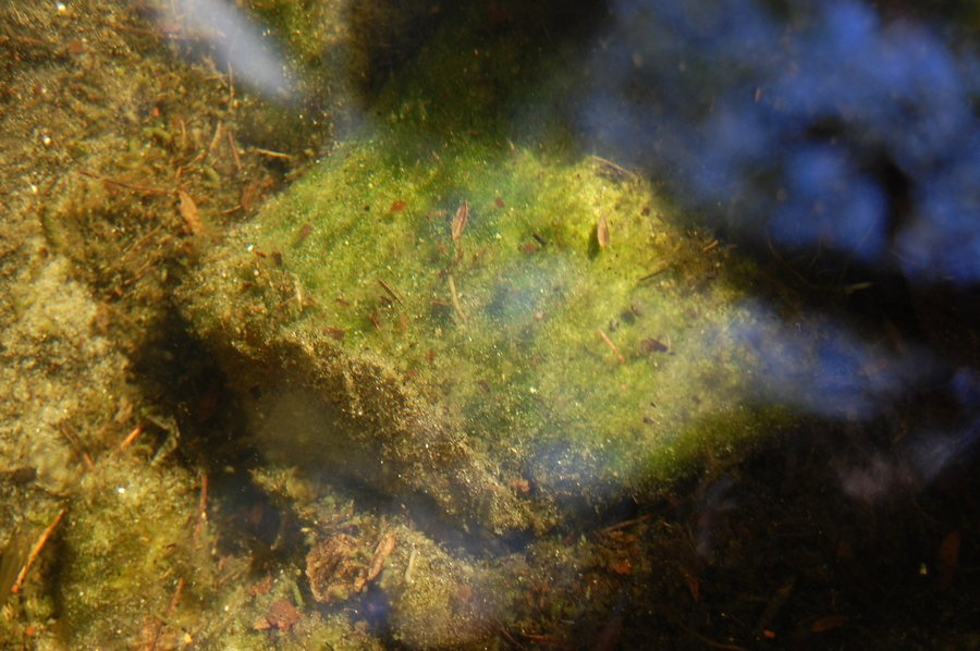 What kind of algae do i have my aquarium club for Koi pond algae