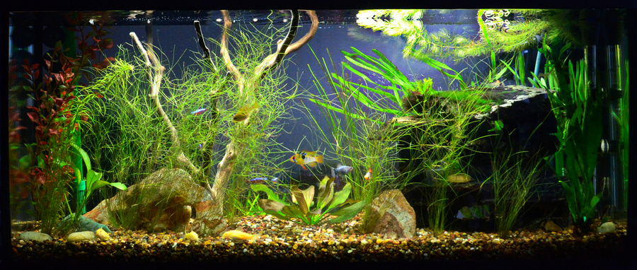 Good and bad fish for beginners my aquarium club for Starting a fish tank for beginners