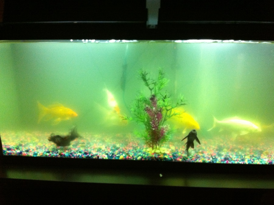 Fish tank getting cloudy all about fish for Why is my fish tank so cloudy