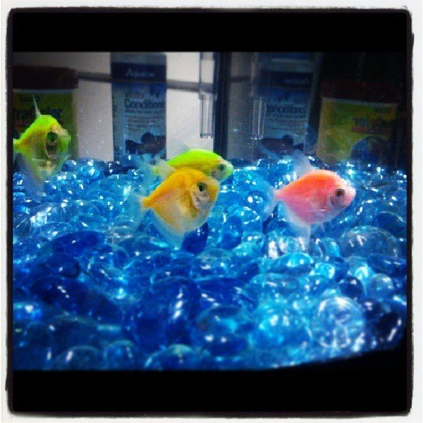 Glow tetra and tank relation my aquarium club for How many fish can be in a 20 gallon tank