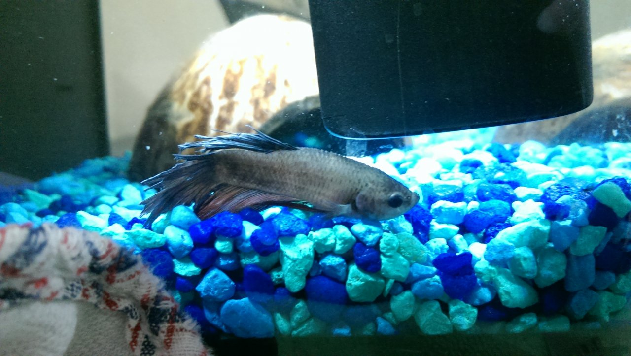 Freshwater aquarium fish not eating -  This Was Triggered By My Eliminating All The Good Bacteria That Used To Be In The Tank What Can I Do If He Can T Recover Is Euthenasia An Option