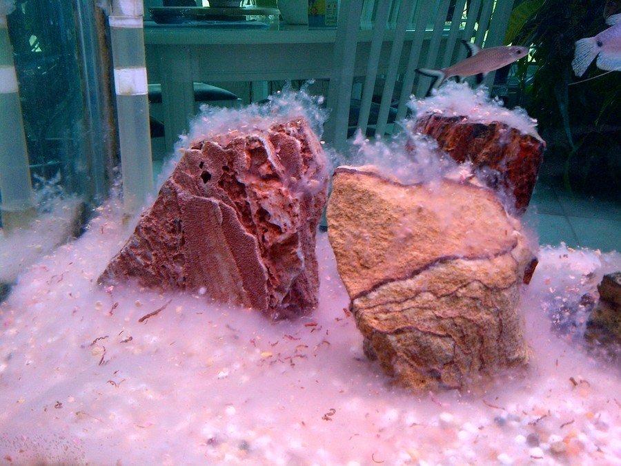 Mold in fish tank my aquarium club for White fungus on fish