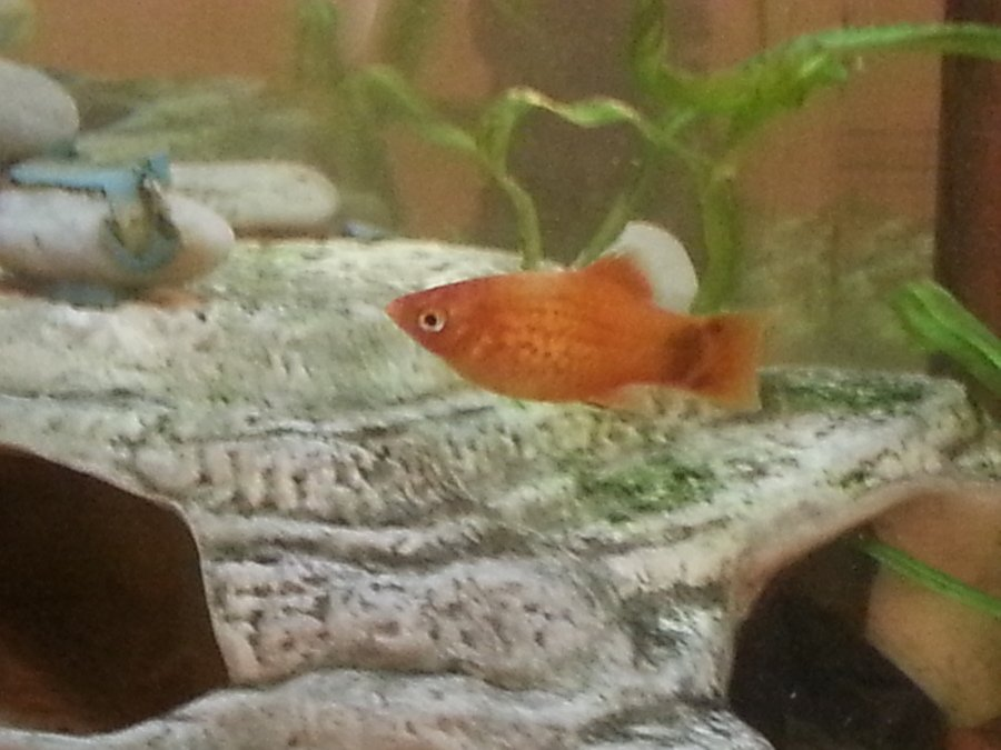 how to tell if platys are pregnant