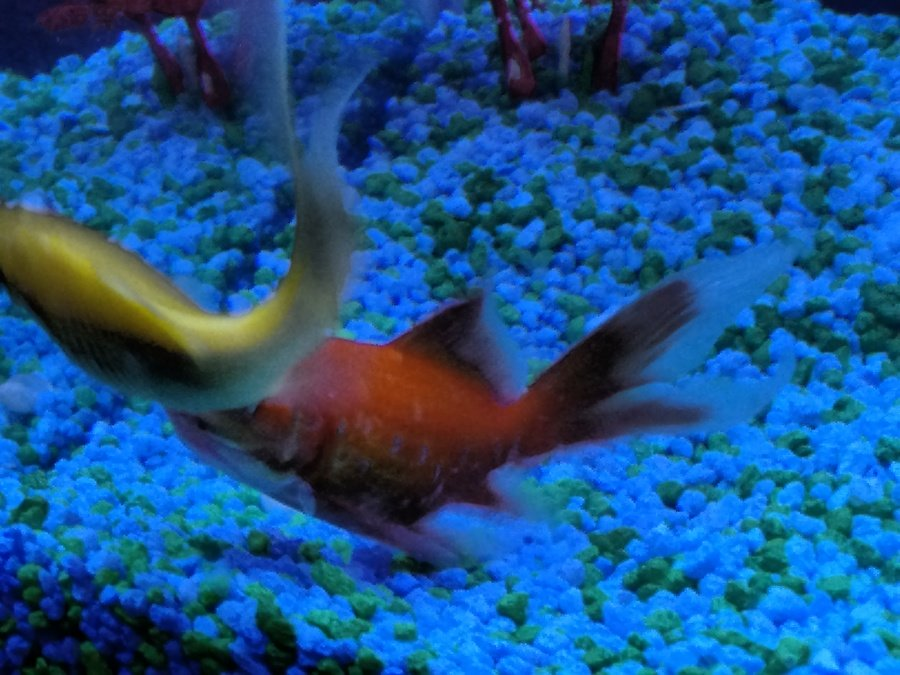 Is this goldfish sick my aquarium club for Jb tropical fish