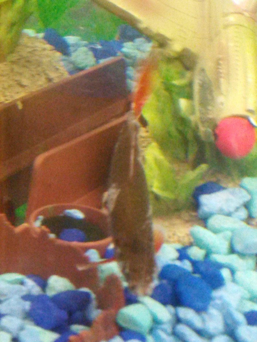 Freshwater aquarium fish rainbow shark - Can Someone Please Help Me My Rainbow Shark Got Stuck In An Aztec Cave Deco