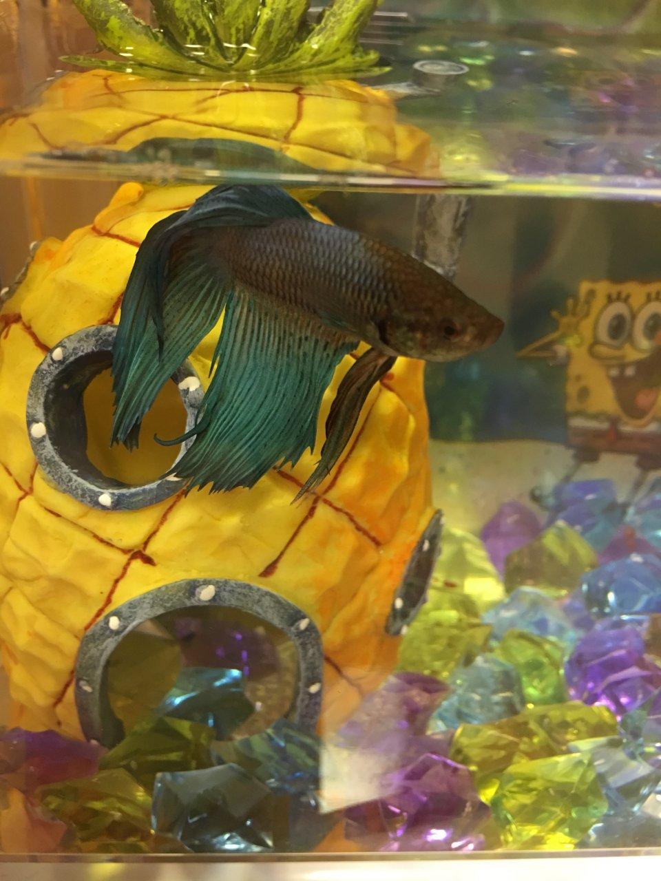 betta losing color looks grayish my aquarium club