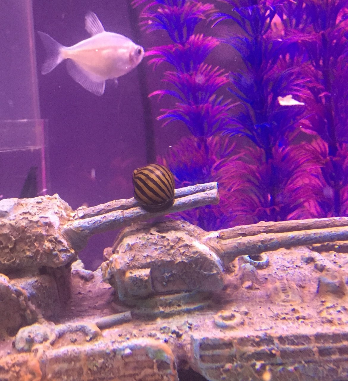 Freshwater aquarium fish no heater - Angel Snail Catfish In Medium Tank A Boatload Of Stuff In My Big Tank Including Mollies No Heater