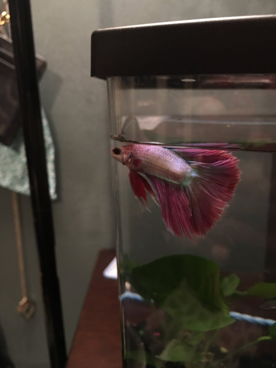 Fish for unfiltered tank - Betta Fish Floating At Top