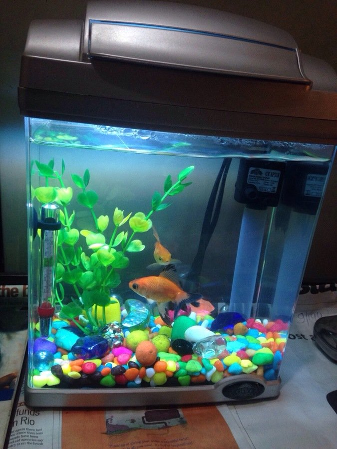 I have 2 male guppies in a 1 gallon tank they seem to get for One gallon fish tank