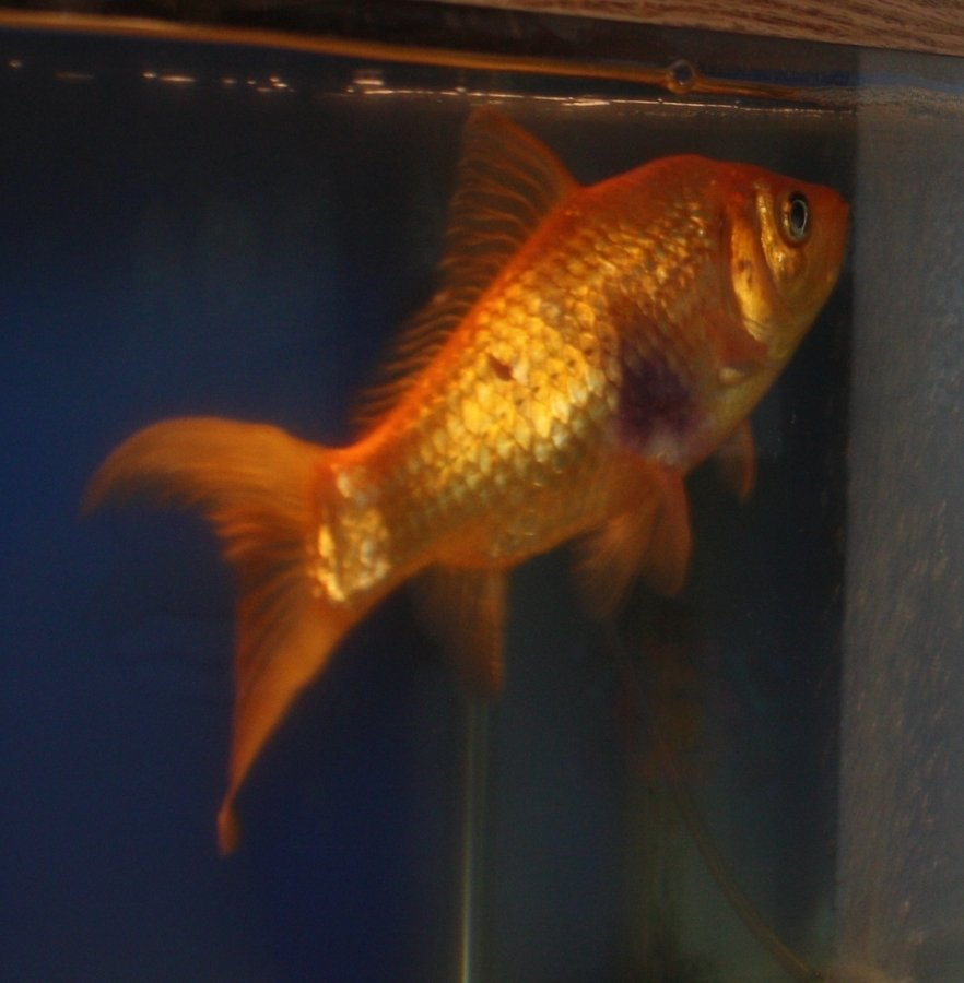 Fish aquarium red spots - Thanks In Advance
