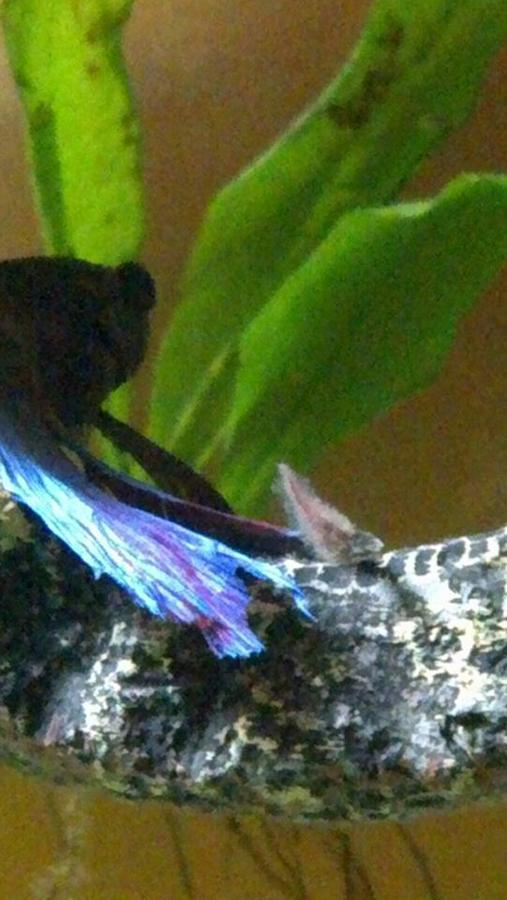 Betta fin rot or fungal infection my aquarium club for Fish tail rot