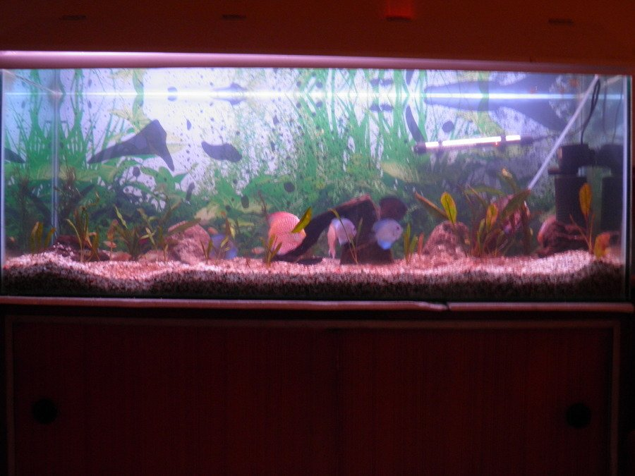 General rules for keeping discus my aquarium club for Keeping discus fish
