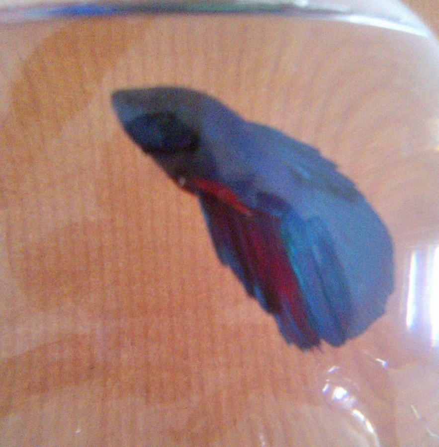 White substance hanging on belly of male betta my for Betta fish mirror