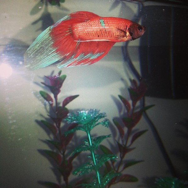 Is my betta dying help my aquarium club for How much are betta fish at petco