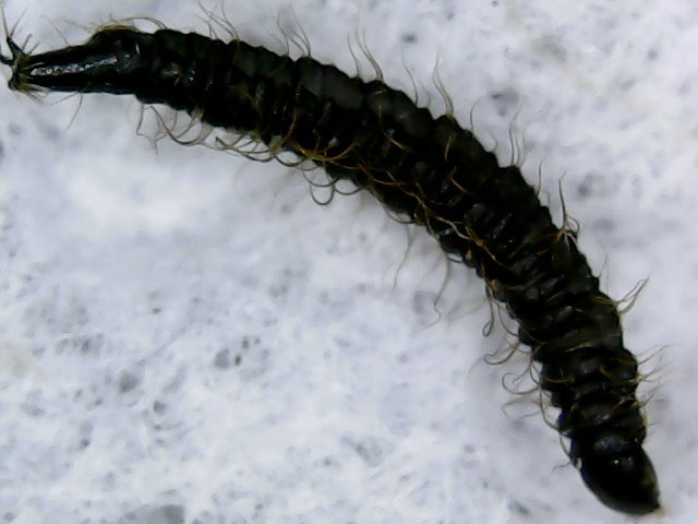 Black worms in fish tank and little flies my for Worms in freshwater fish