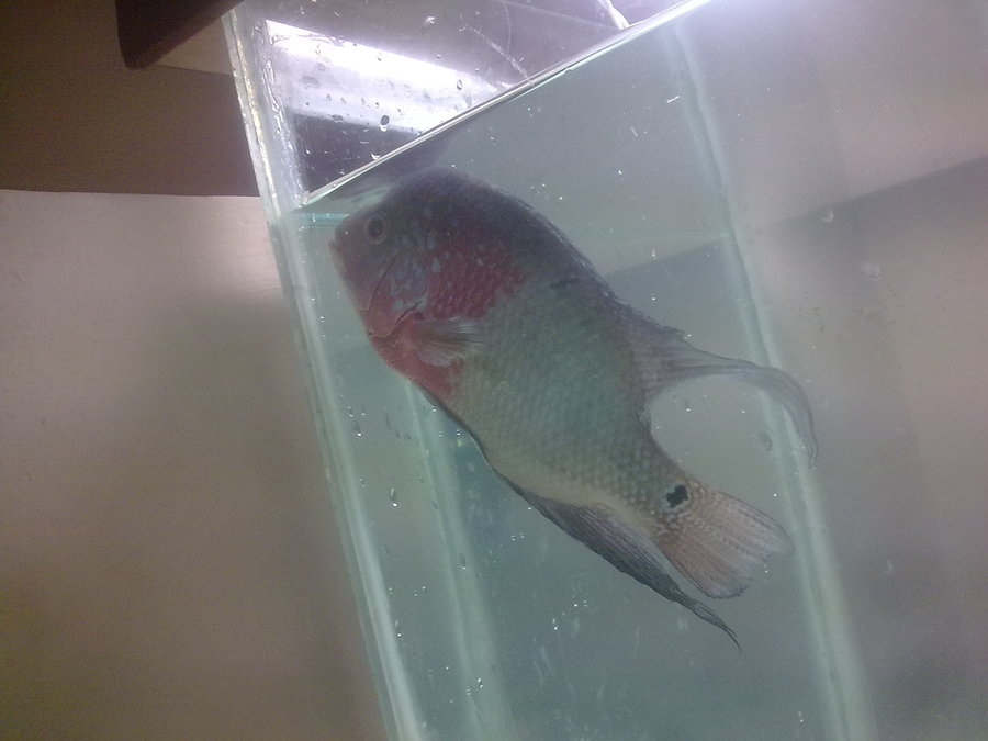 My flowerhorn eyes got cloudy and its totally inactive for Why is my fish tank cloudy