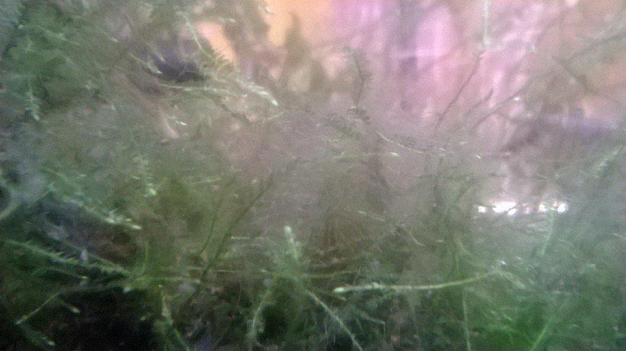 White hair algae my aquarium club for White algae in fish tank