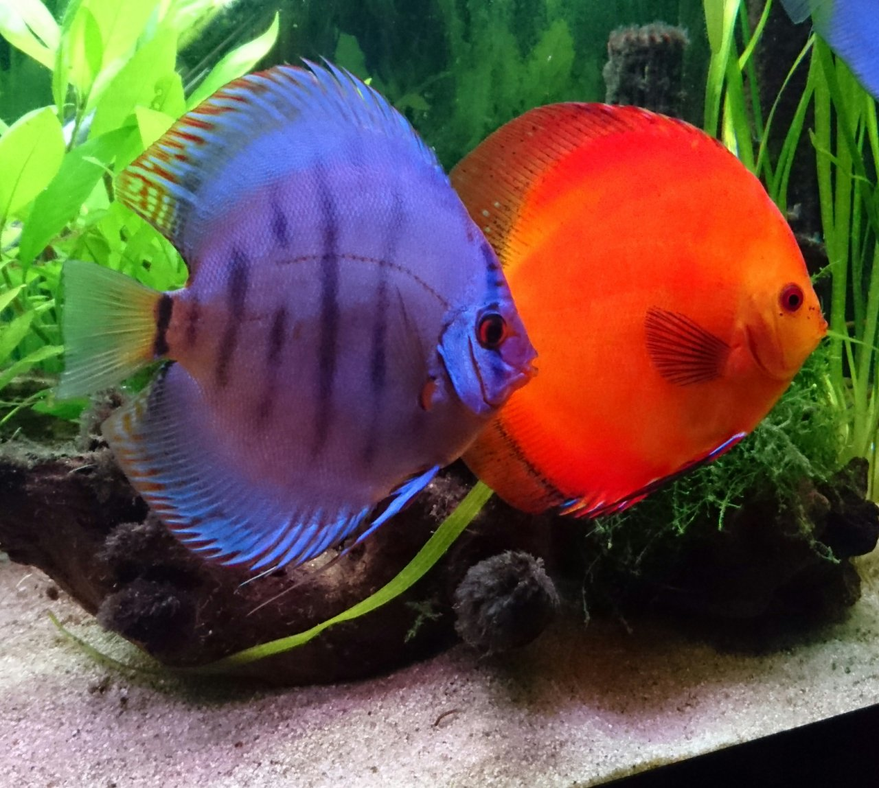 Discus keeping for beginners my aquarium club for Keeping discus fish