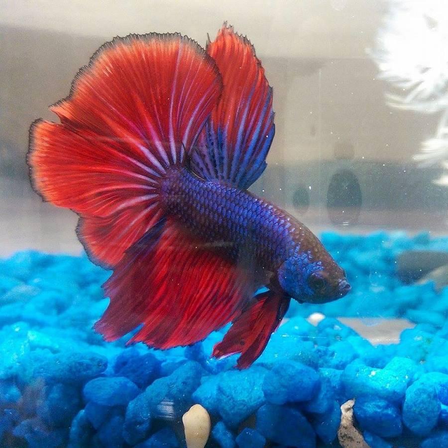 What is the best betta food my aquarium club for Feeding betta fish