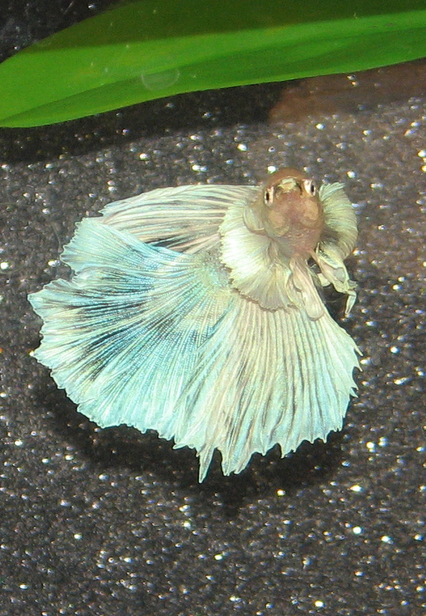 Voting for september 2013 potm my aquarium club for Elephant ear betta fish