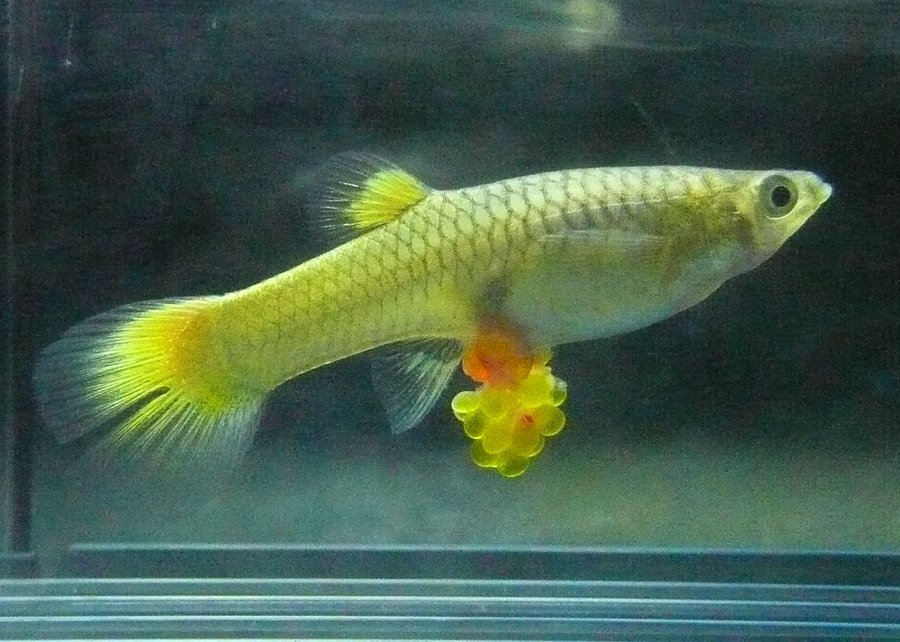 I have a female blonde guppy who has been agitated for for How long do fish stay pregnant