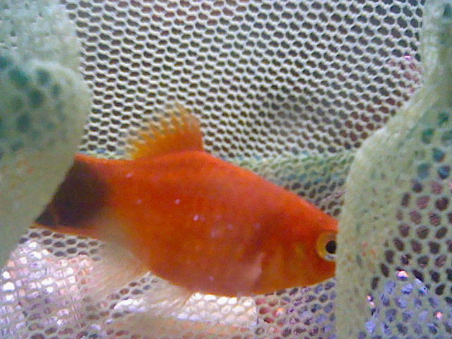 Does my mickey mouse platy have ick my aquarium club for Betta fish ick