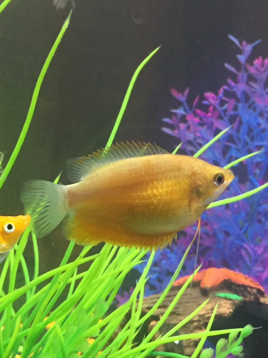 Pregnant gourami my aquarium club for How long do fish stay pregnant