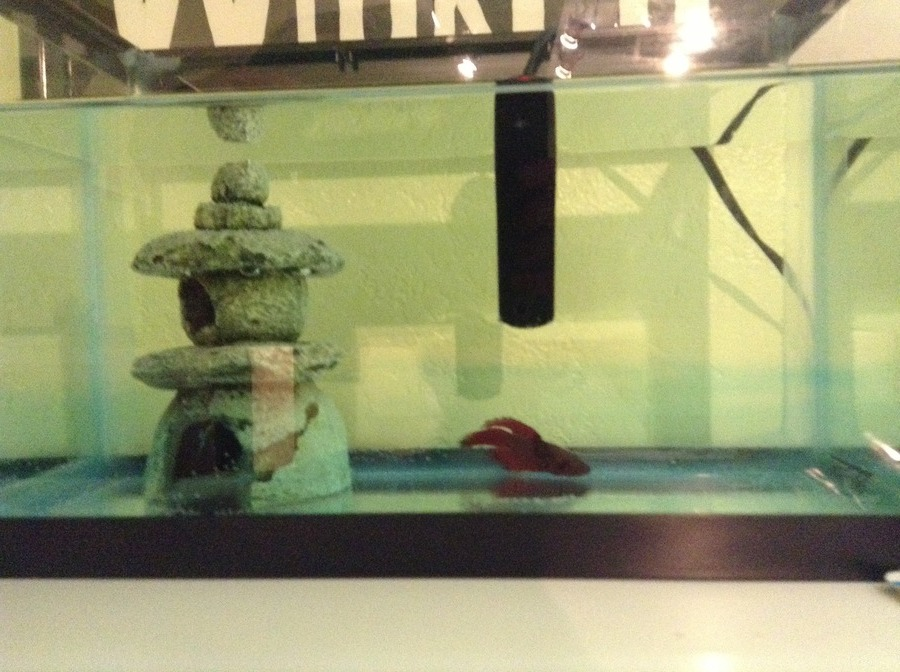 My betta fish has ich and fin rot please help my for Betta fish ich