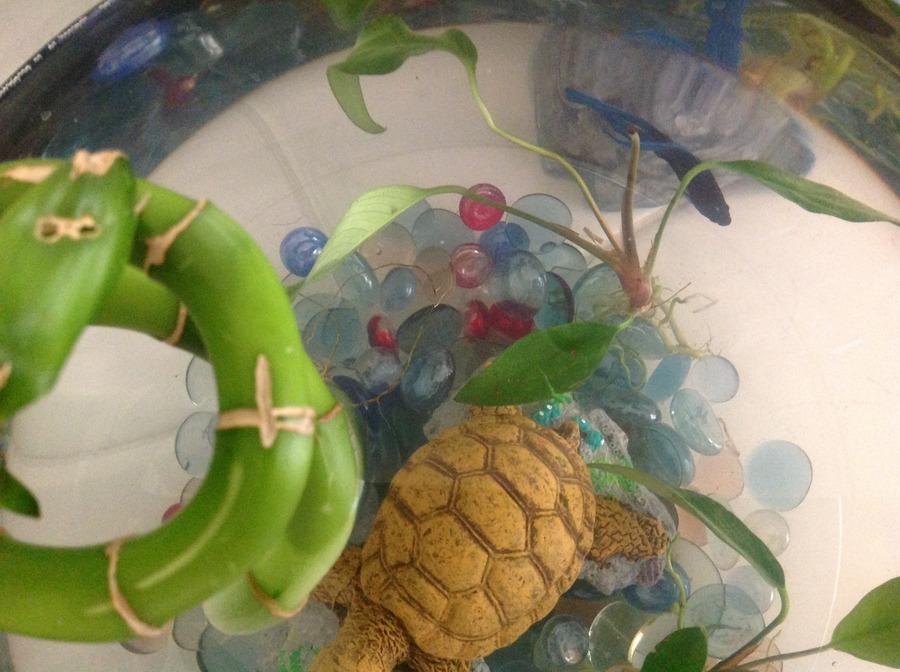 Y Wont My Turtle Eat My Male Betta (Oceanus...