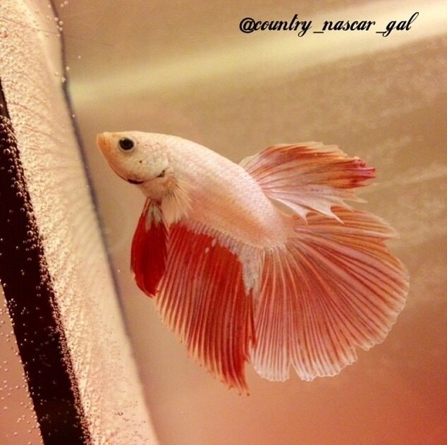 What would be good names for my two bettas red blue for Good betta fish names