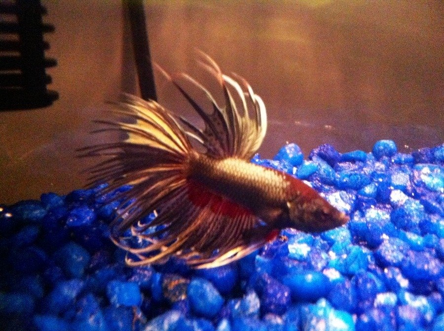 My betta fish is lethargic and not eating i just cleaned for What do betta fish eat