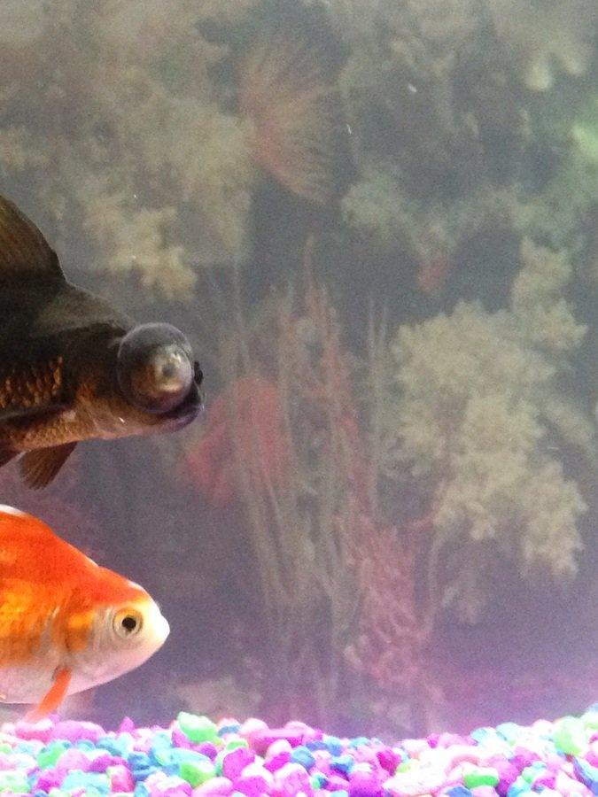 Cloudy tank water black moor goldfish eye white and for My fish tank is cloudy