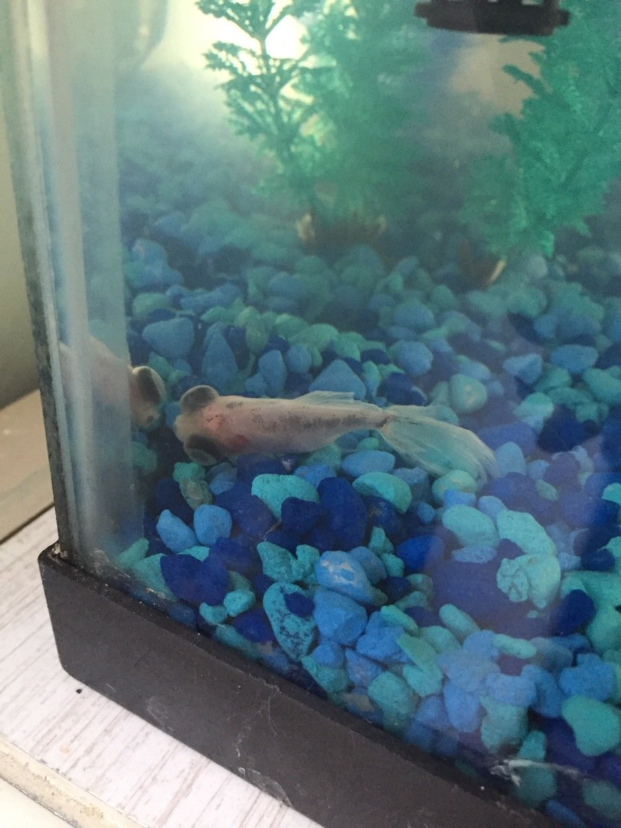 Freshwater Aquarium Fish Under 1 Inch - I just got 3 new goldfish in a new 10 gallon tank they are the ones with the big eyes and are about 1 inch long each