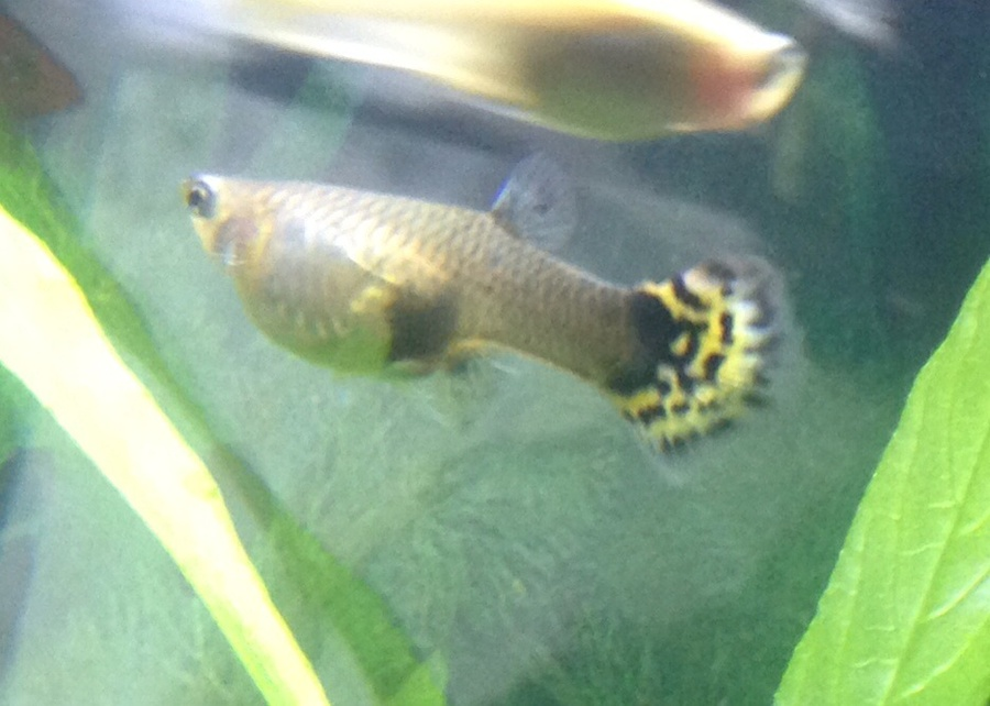 3 pregnant guppies different stages when will they drop for How long is a guppy fish pregnant