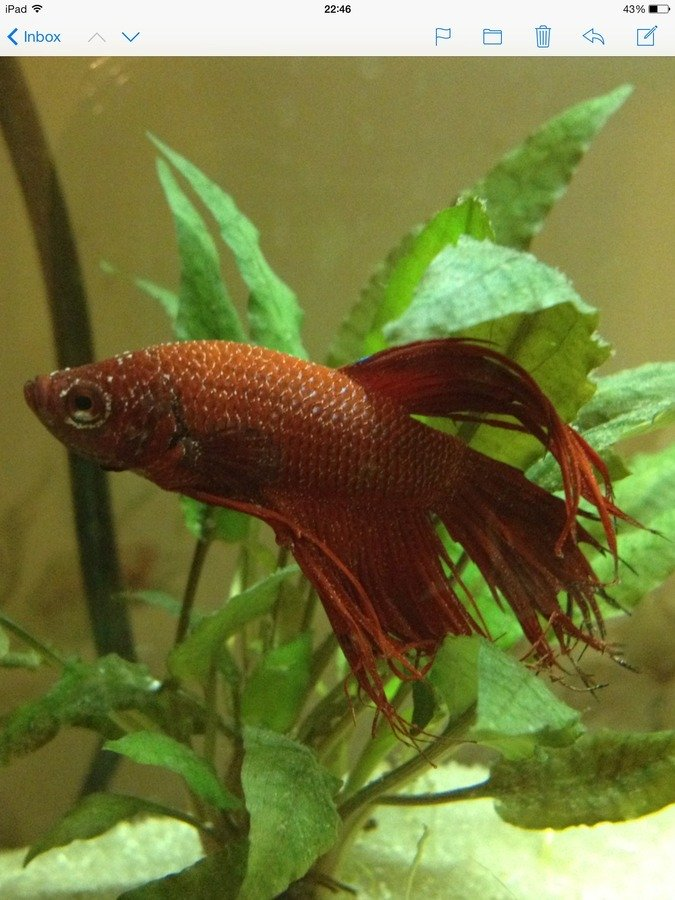 Knowledgable betta keepers please help my aquarium club for How do i treat ich in my fish tank
