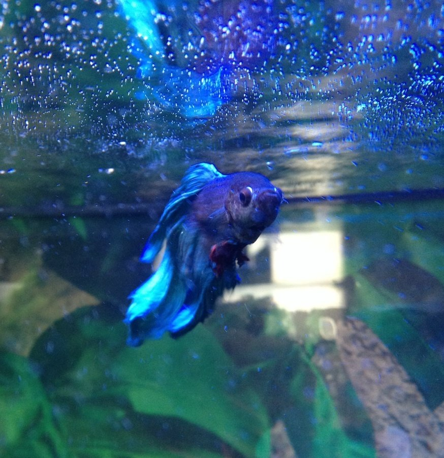How to properly care for a new betta fish my aquarium club for How big can a betta fish get