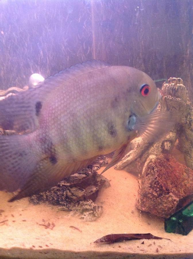 Parrot fish breeding my aquarium club for Fish breeding net