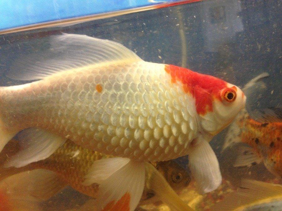 Bloating my aquarium club for Fish scale disease