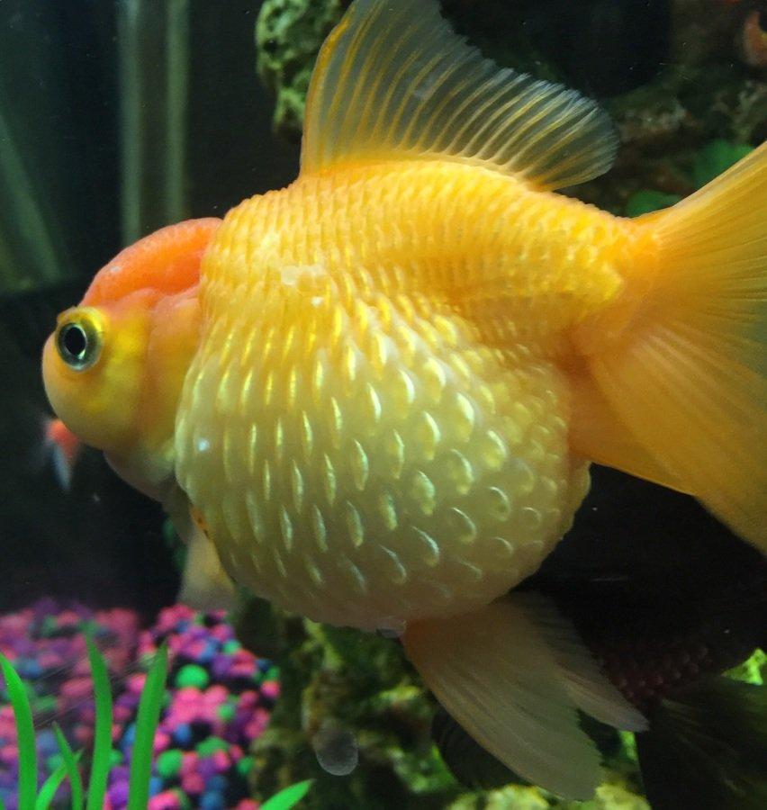 Dropsy or pearlscale goldfish my aquarium club for Fish scale disease