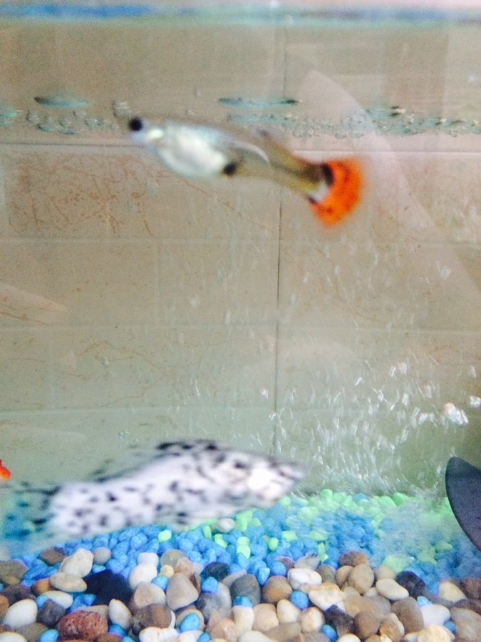 how to tell when guppies are about to give birth