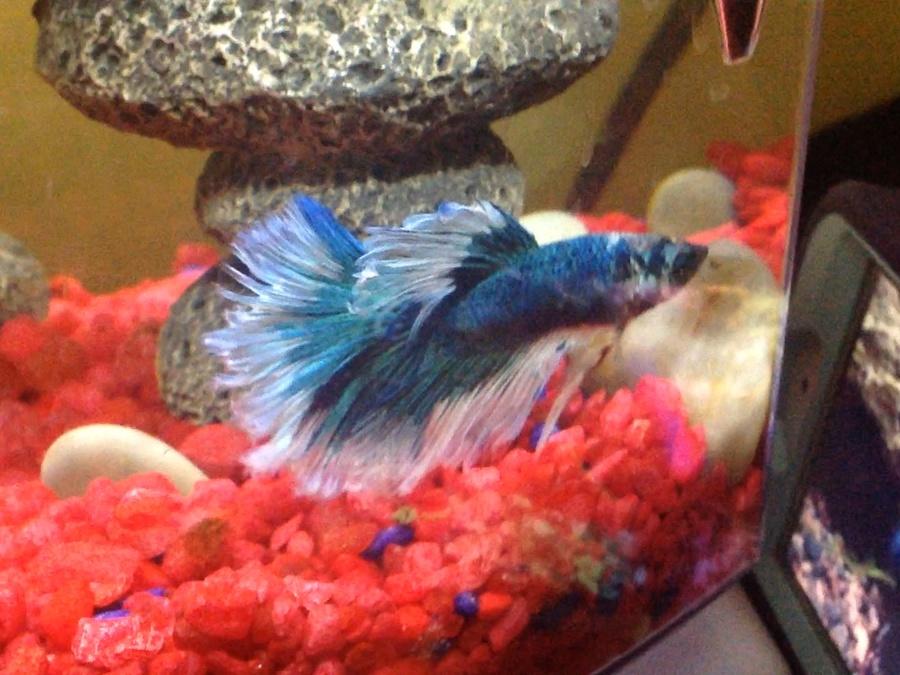 Betta tank mates my aquarium club for Tank mates for betta fish